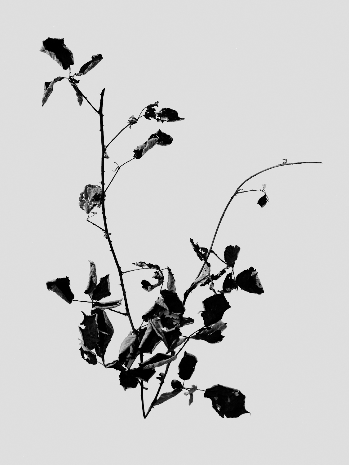 Image result for black and white poetic flowers photography