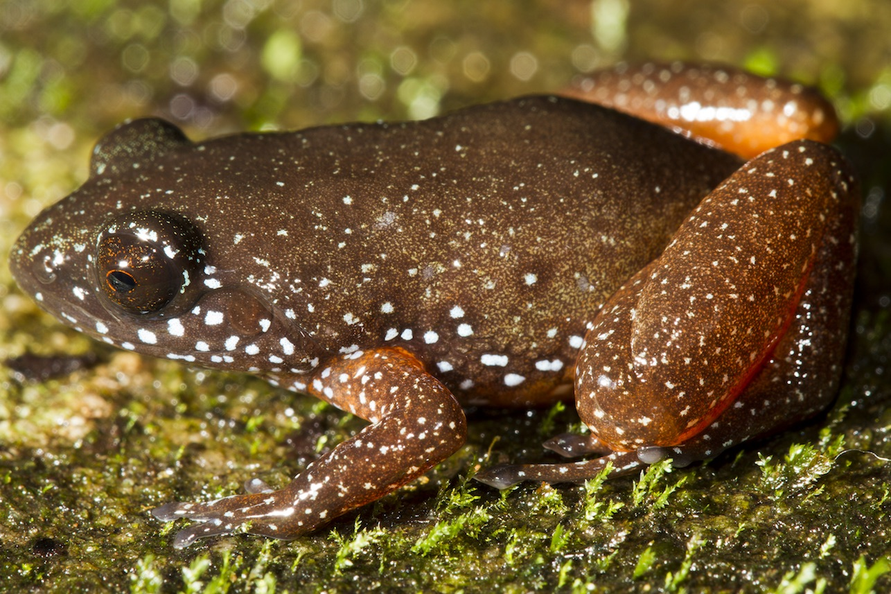 New Species of Frog Sheds Light on Major Biodiversity Hotspot in Southern India