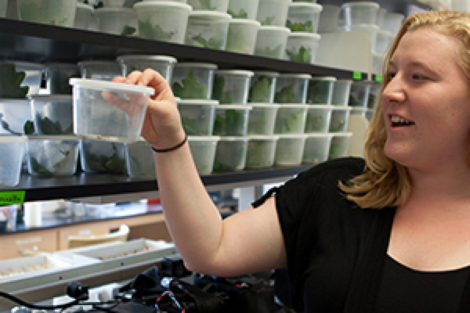 female student in lab researching leaf-tying caterpillars