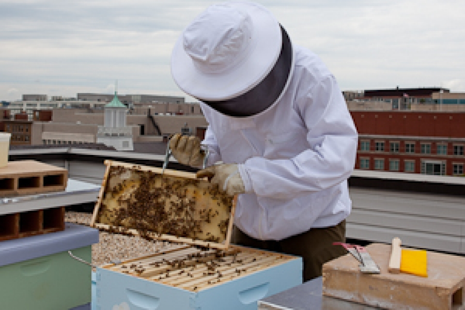 Person in bee suit takes care of beehives on roof