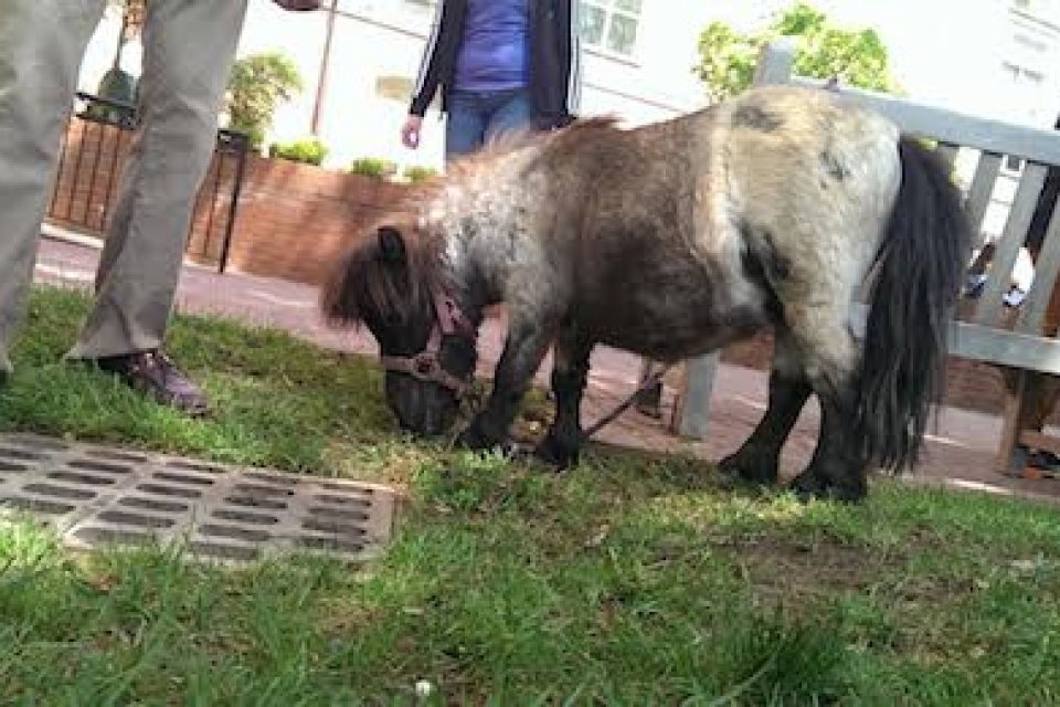 Miniature Horse on University Yard grass