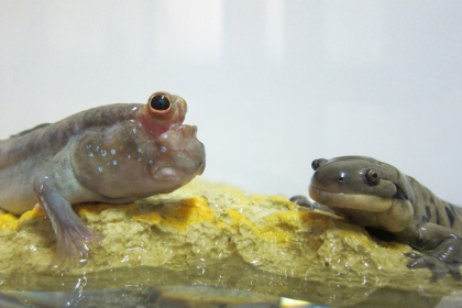 Mudskipper fish and tiger salamander